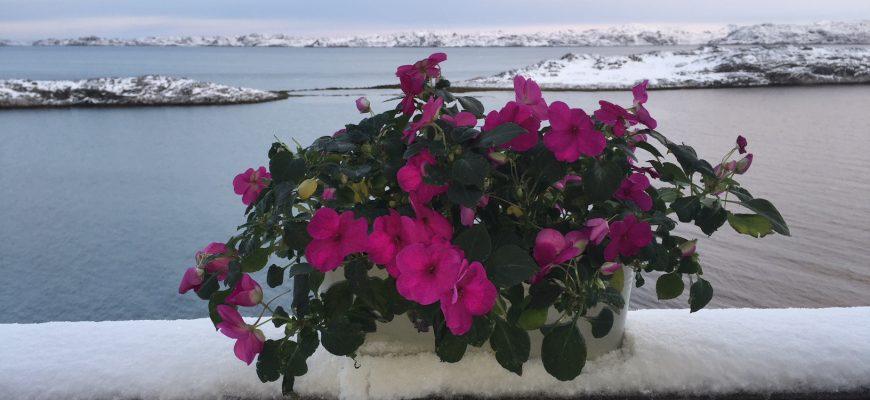 Flittig Liser i Grønland